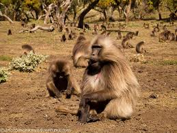 Semien Mountains National Park - Gelada Baboon