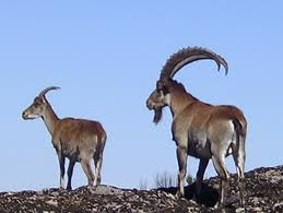 Semien Mountains National Park - Walia Ibex